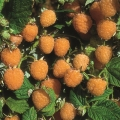 Raspberry 'Allgold'* (pack of 6 canes)